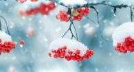 winter berries, soft snow